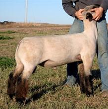 Schmillen Show Lambs - Sires